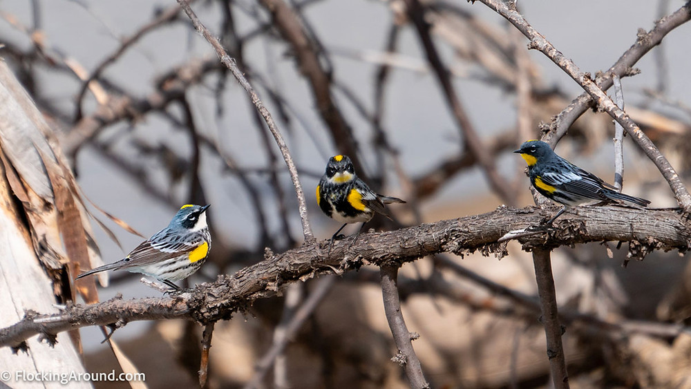 Left to right: Myrtle Yellow-rumped Warbler, Intergrade Yellow-rumped Warbler, Audubon's Yellow-rumped Warbler