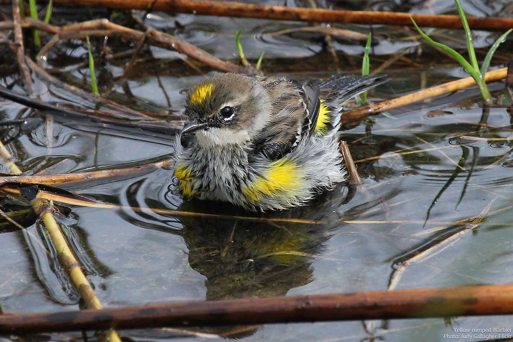 A Myrtle Yellow-rumped Warbler bathes in a shallow pool.