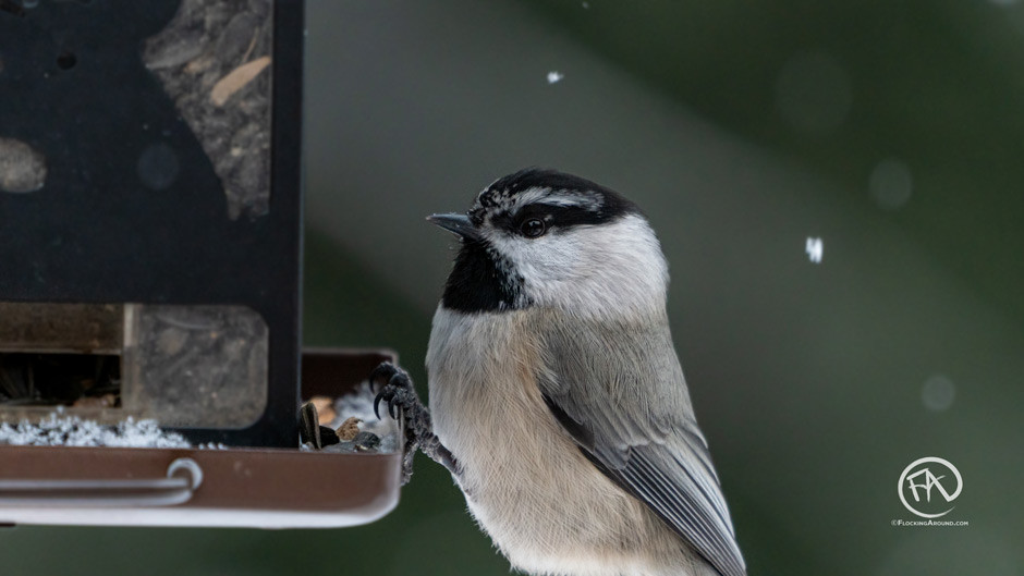 Mountain Chickadee on a bird feeder