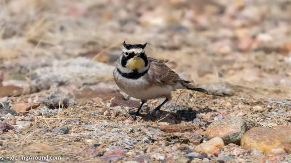 Horned Lark shot with a DSLR