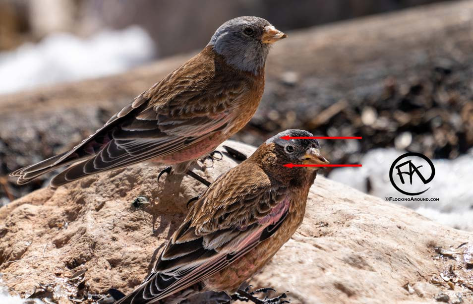 Gray-crowned Rosy-Finch vs Hepburn's Rosy-Finch