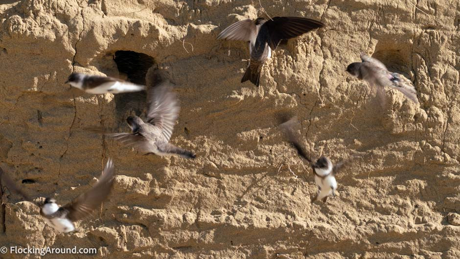 Bank Swallows were found deceased, packed into crevices in New Mexico