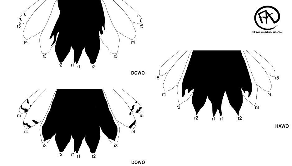 Downy Woodpecker tail (left) vs Hairy Woodpecker tail (right)