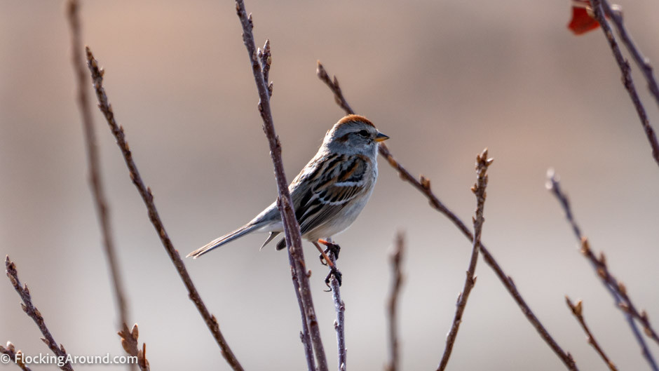 American Tree Sparrow shot with a DSLR