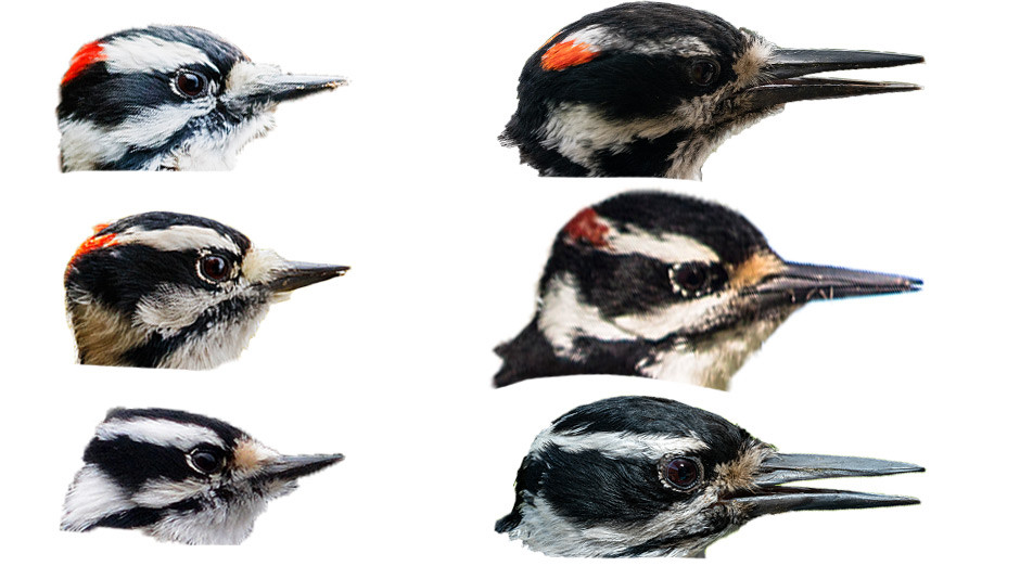 Bill comparison for Downy Woodpecker and Hairy Woodpecker