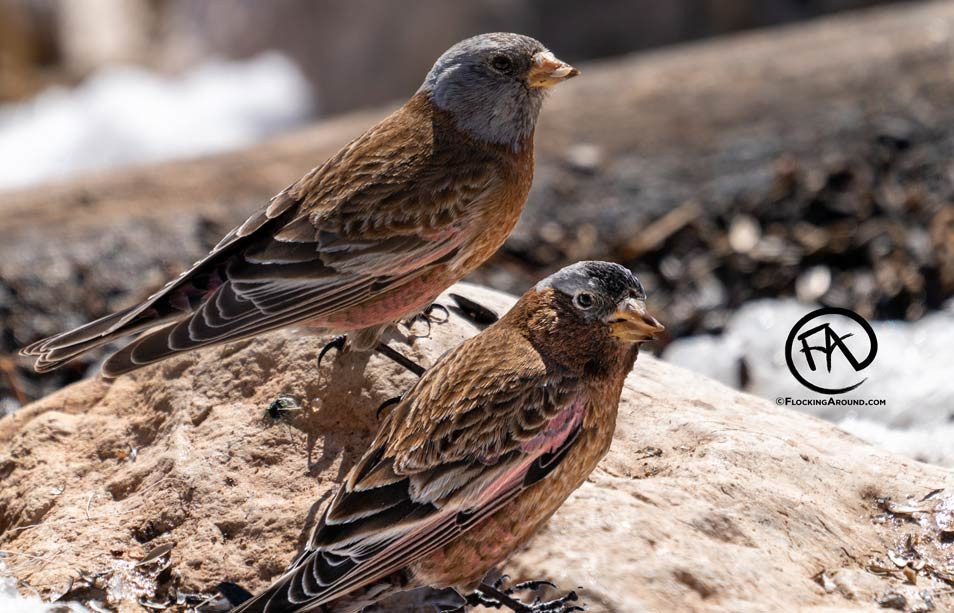 Hepburn's Gray-crowned Rosy-Finch and Gray-crowned Rosy-Finch