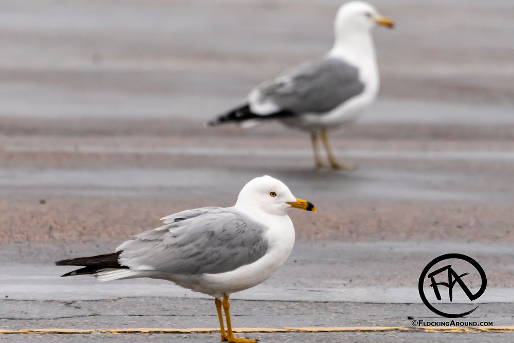 Ring-billed Gull in front, California Gull in rear