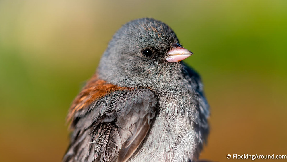 A Gray-headed Junco is set against a green background.
