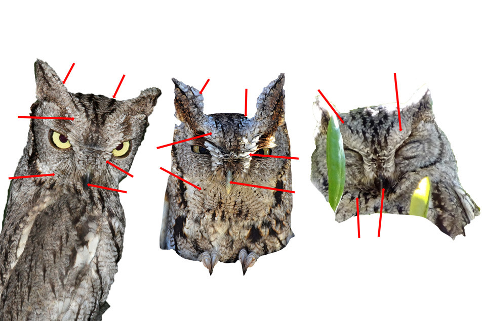 From left to right: Western Screech-Owl, Eastern Screech-Owl, and Western Screech-Owl.