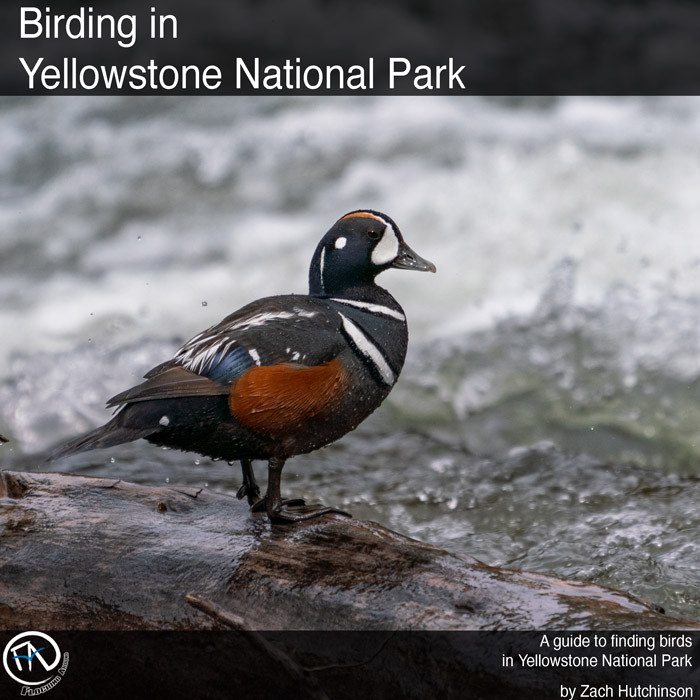 Birding in Yellowstone National Park