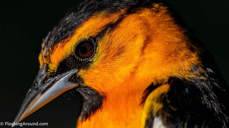 Bullock's Oriole shot with DSLR and macro lens