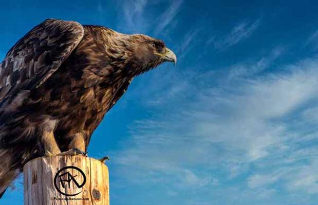 Golden-Eagle-at-Sunset.jpg