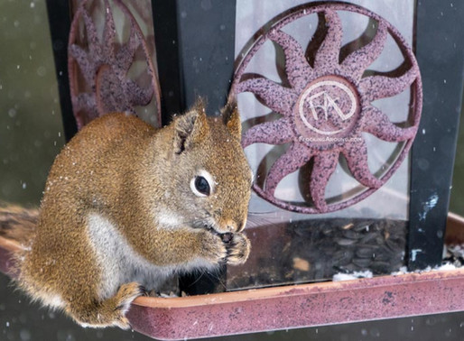 Do squirrels eat birds?