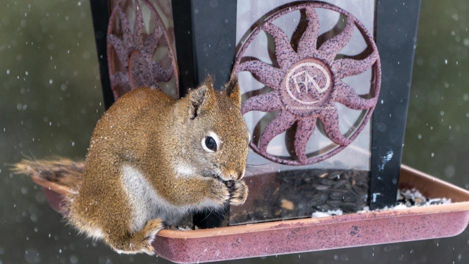 A red squirrel eats on a bird feeder.