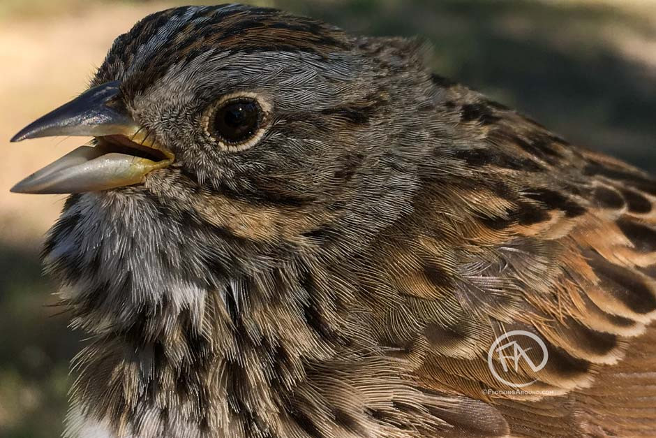 Close-up of a Lincoln's Sparrow