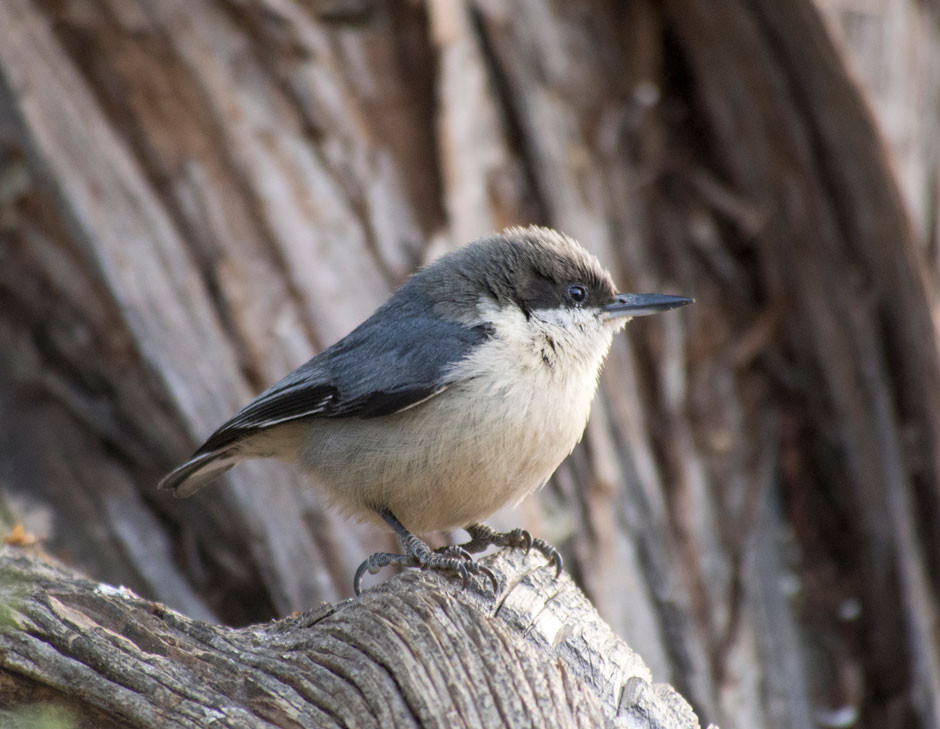 Pygmy Nuthatch on the South Rim of the Grand Canyon