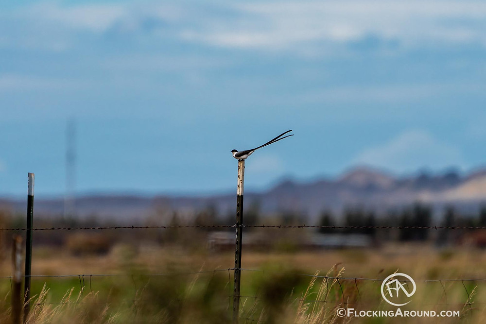 Fork-tailed Flycatcher in Wyoming
