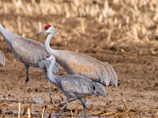 Lesser Sandhill Crane or Greater Sandhill Crane - The Sandhill Crane Subspecies