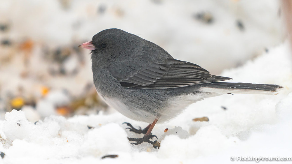 A White-winged Junco stands in the snow.