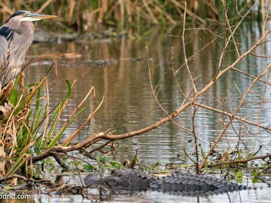 Birding in Cattail Marsh in Beaumont, TX