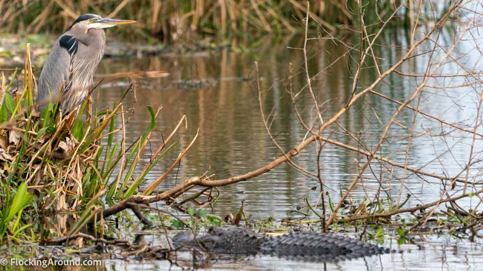 An alligator hunts a heron