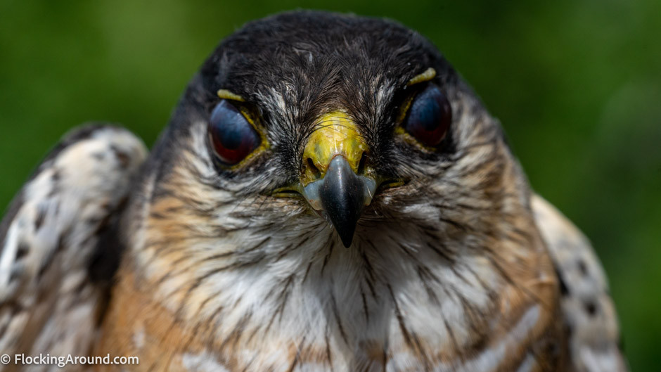 Sharp-shinned Hawk showing nictitating membrane