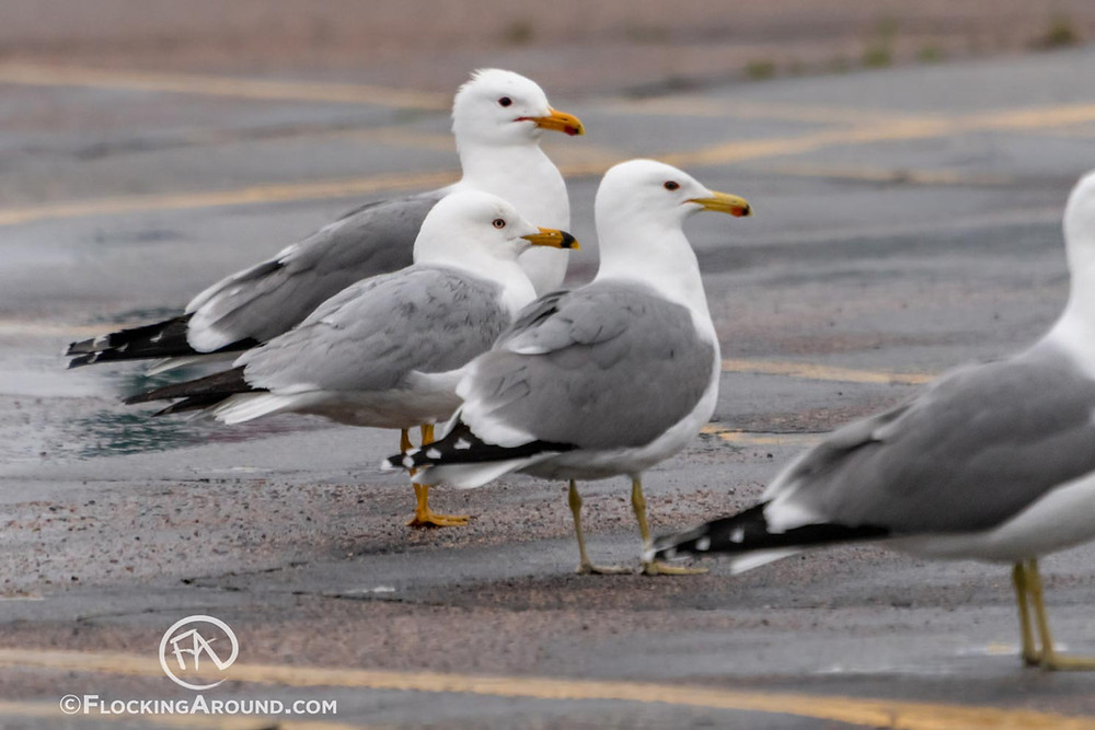 California Gulls with a Ring-billed Gull