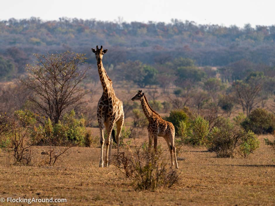 South African giraffe and calf