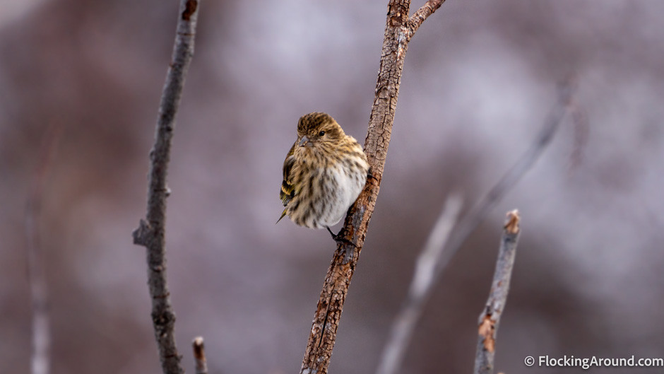 Pine Siskins are attracted to nyjer or thistle feeders