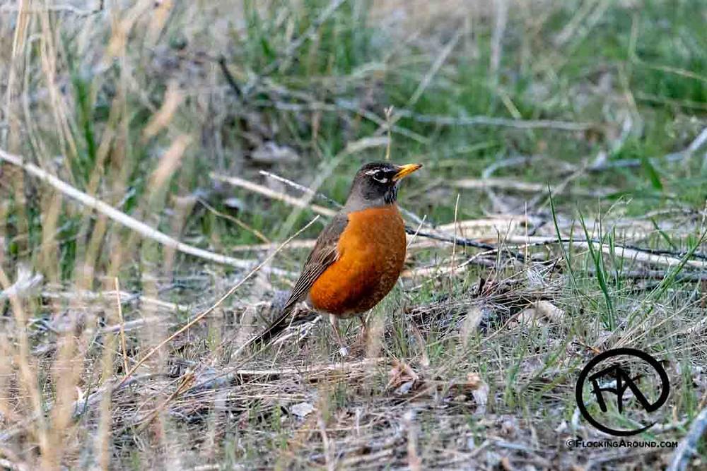 Banded American Robin