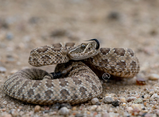Snake Safety - Being Prepared in Snake Country