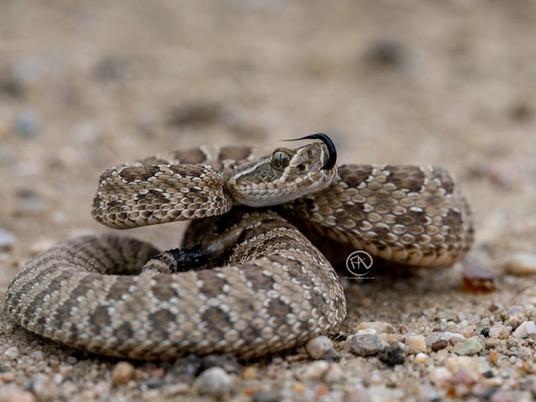 Venomous Snake Safety - Preventing and Treating Snakebites