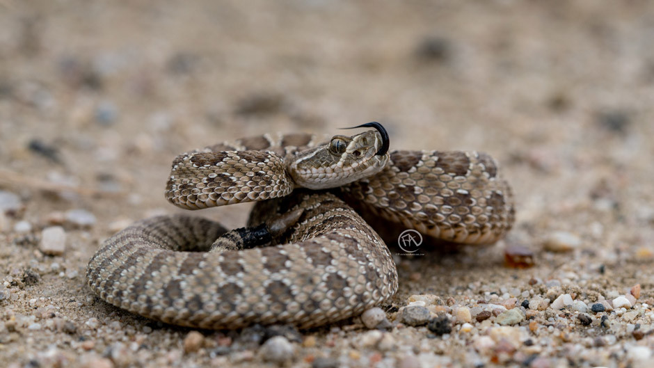 "Prairie Rattlesnake ""smelling"" the air"