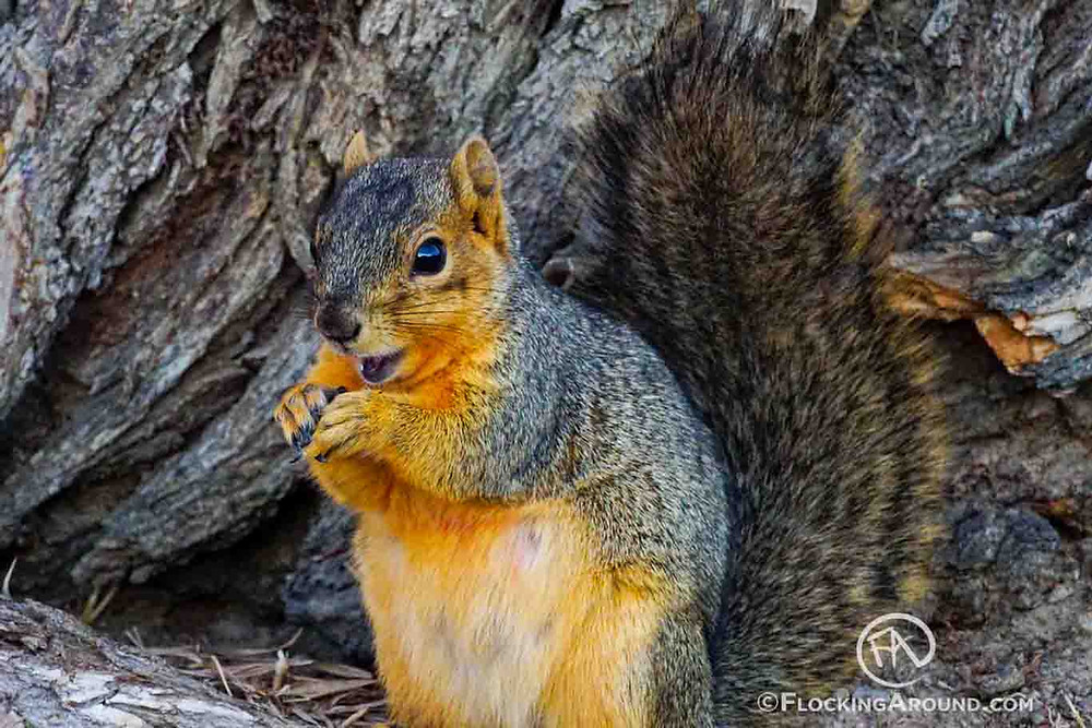 Fox Squirrel eating birdseed.