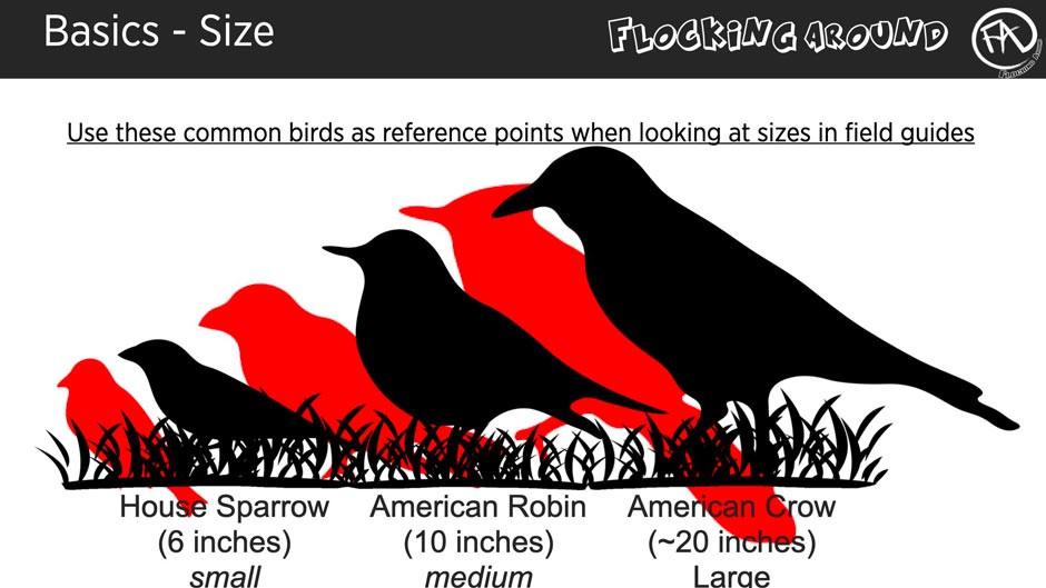 Bird Identification by Size ©FlockingAround.com