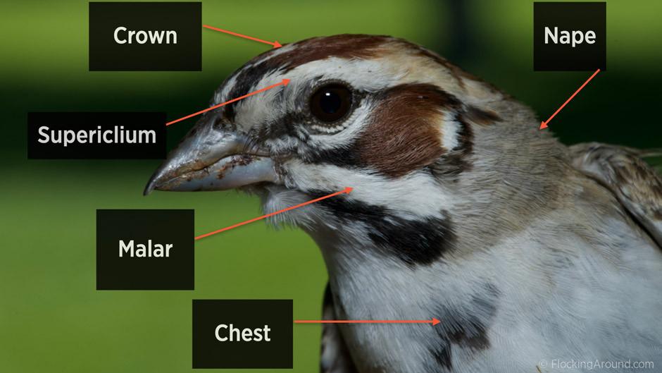 Bird Topography on a Lark Sparrow Image ©FlockingAround.com