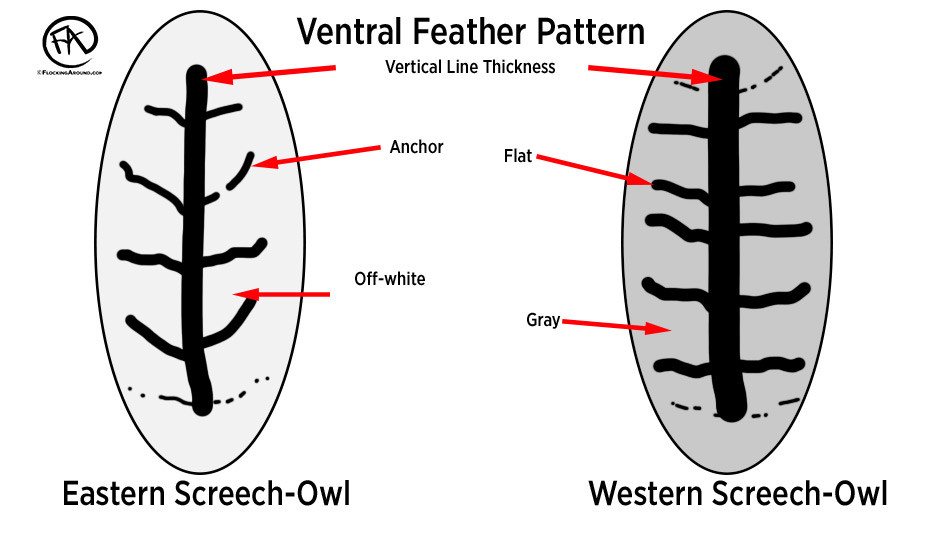 """This graphic gives a rough interpretation of the barring pattern on ventral feathers in Eastern Screech-Owl vs Western Screech-Owl. Eastern Screech-Owl often show an """"anchor"""" shape, as the horizontal bars point anteriorly. The Western Screech-Owl has """"flat"""" horizontal bars, that can show some anterior pointing, but it is usually minimal. Also, the vertical streaking can often appear to be much thicker in the Western Screech-Owl, though, the photos used in this post do not show a good representation of this trait."""