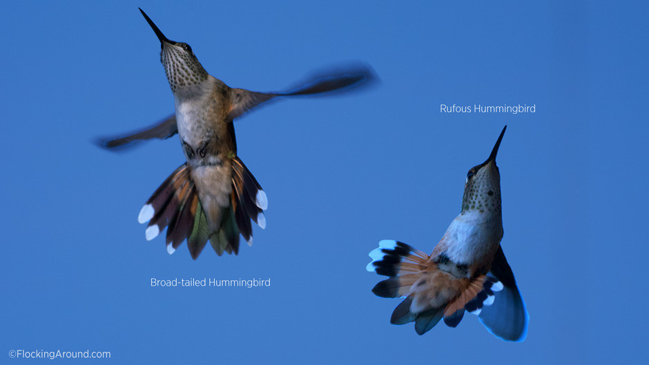 Broad-tailed Hummingbird tail and Rufous Hummingbird tail (underside)