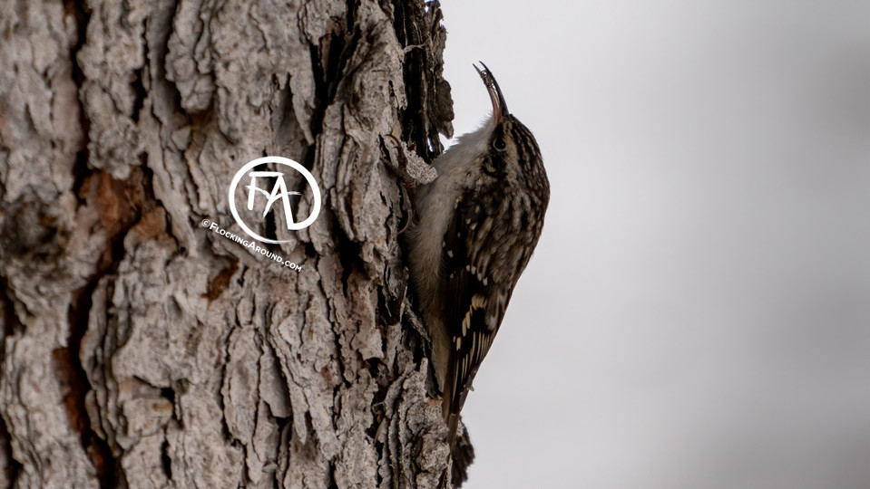 Brown Creeper eating a spider in single digit temperatures.