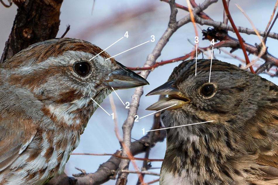 Comparison of a Song Sparrow (left) with a Lincoln's Sparrow (right)