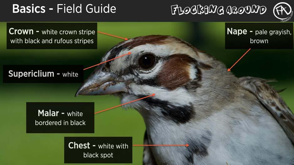 Bird Identification by Field Marks