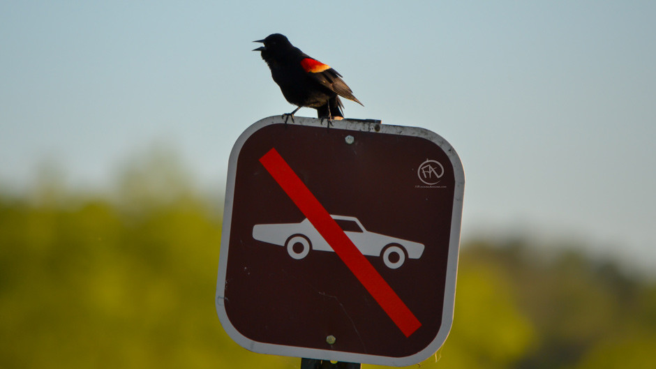 A Red-winged Blackbird sits on a sign, singing