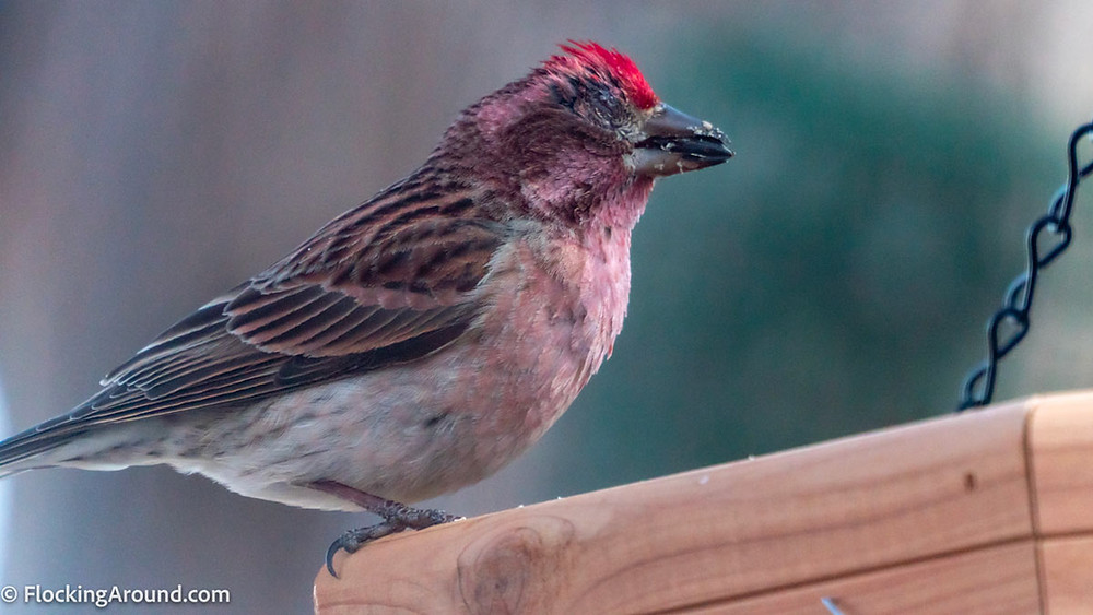 A male Cassin's Finch shows symptoms of conjunctivitis.