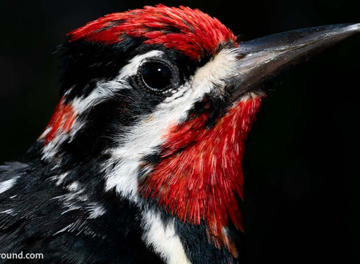 Why do Woodpeckers Drum?