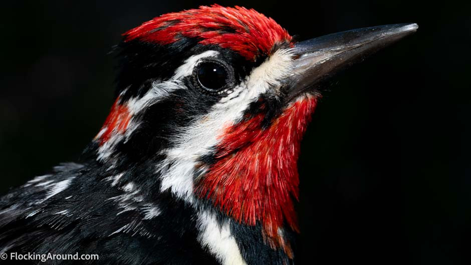 Red-naped Sapsucker (male)