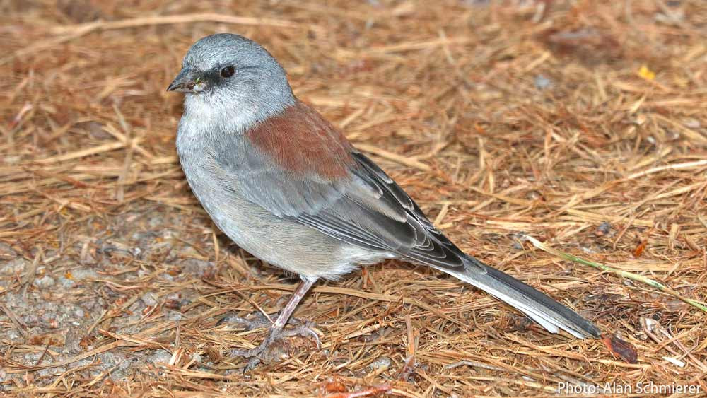 A Red-backed Junco eats birdseed scattered on the ground.