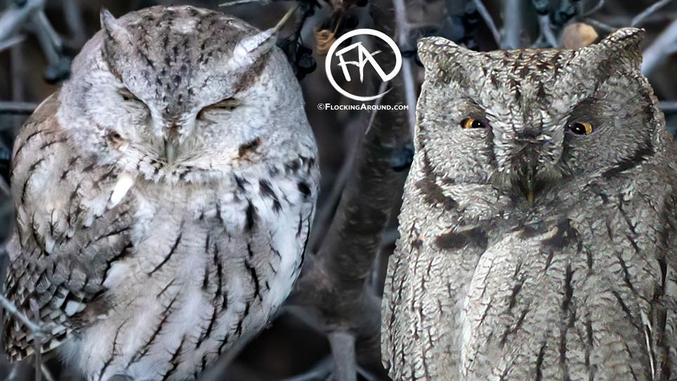 Eastern Screech-Owl vs Western Screech-Owl