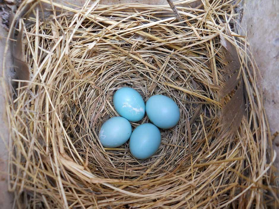 The joy provided by a bluebird house, a bluebird nest and eggs!