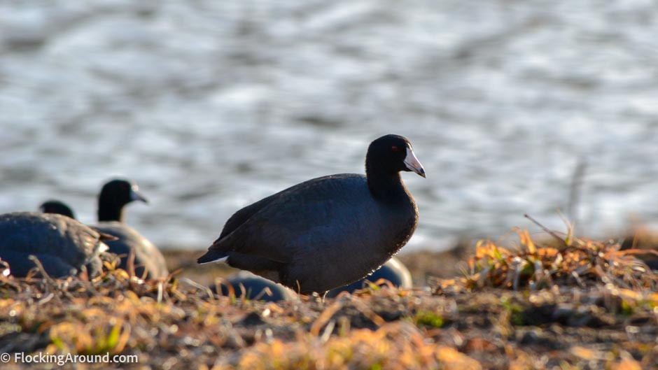 American Coot at Loess Bluffs NWR ©2020 FlockingAround.com