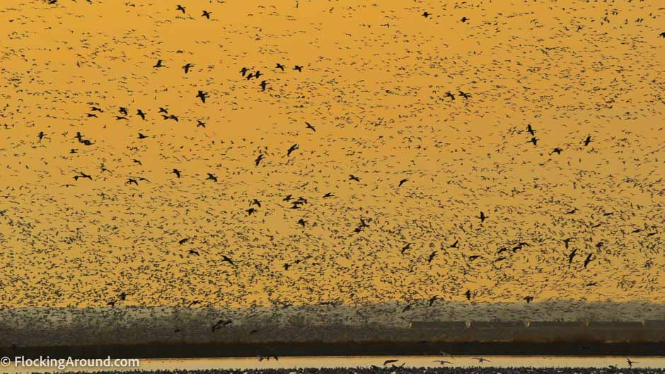 Learn when large flocks of birds move, like this Snow Goose flock.